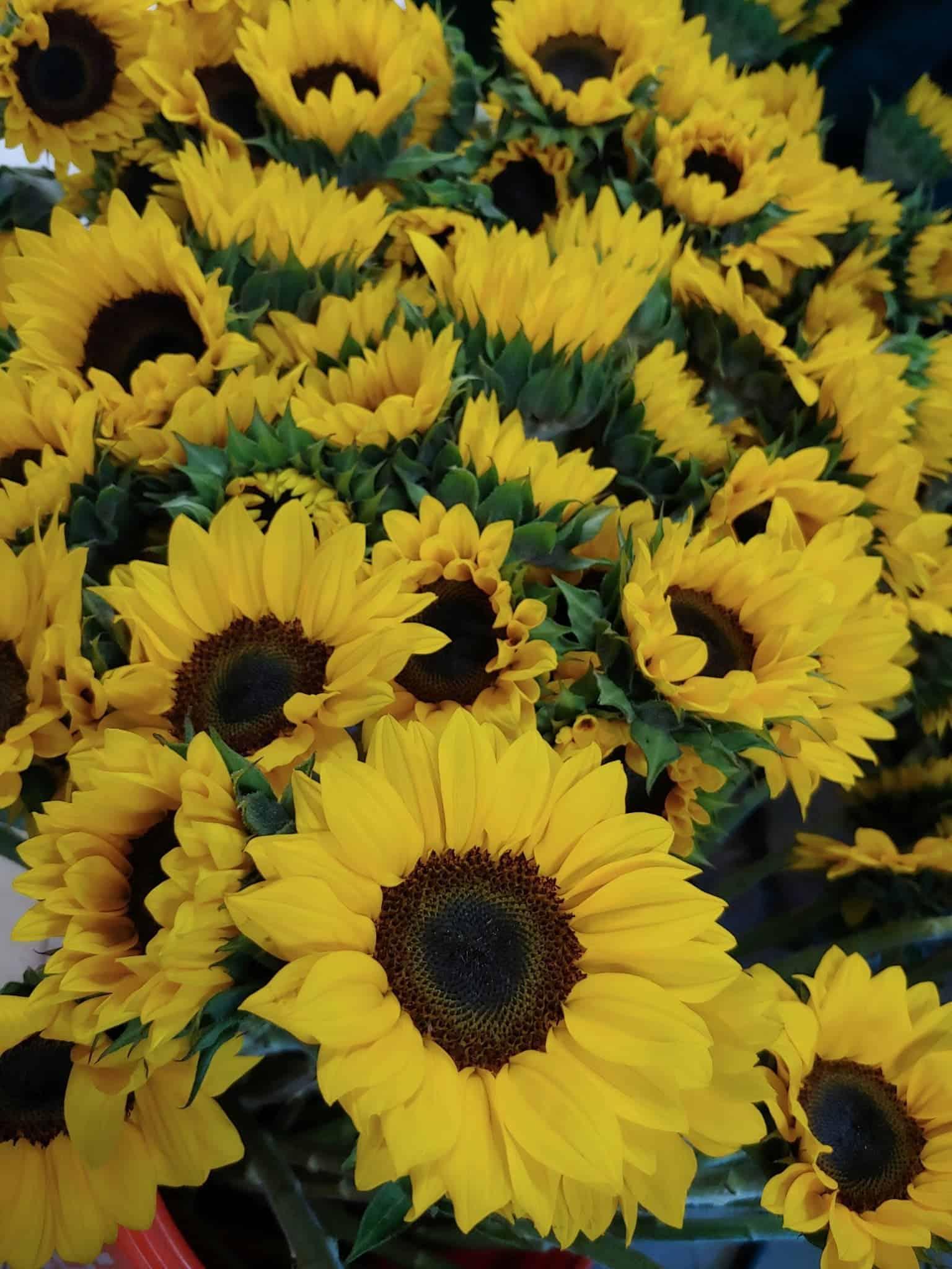 sunflowers, H. anthus