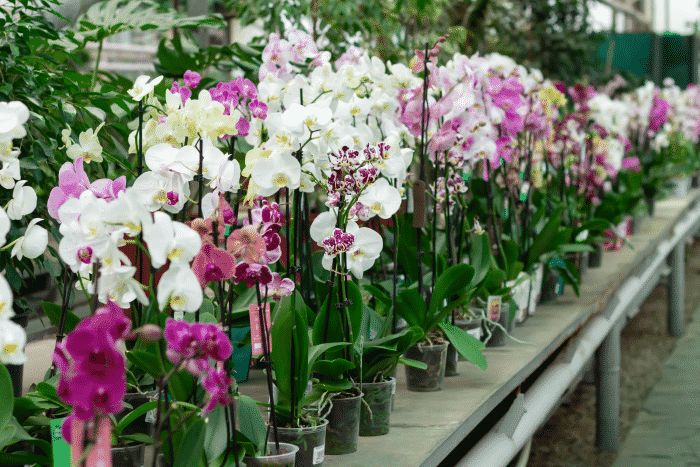potted-orchids-counter-store-phalaenopsis-flowers-different-colors