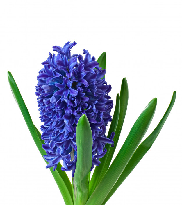 The Blooming Blog:  It's a happy spring with hyacinths