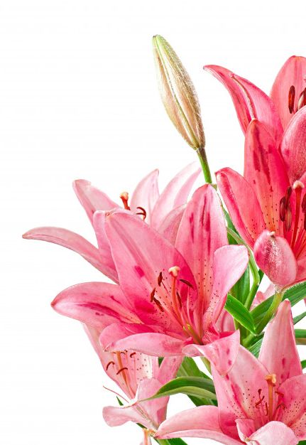 The Blooming Blog:  The beauty of lilies