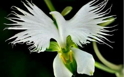 The Blooming Blog:  The Flower of the Holy Spirit