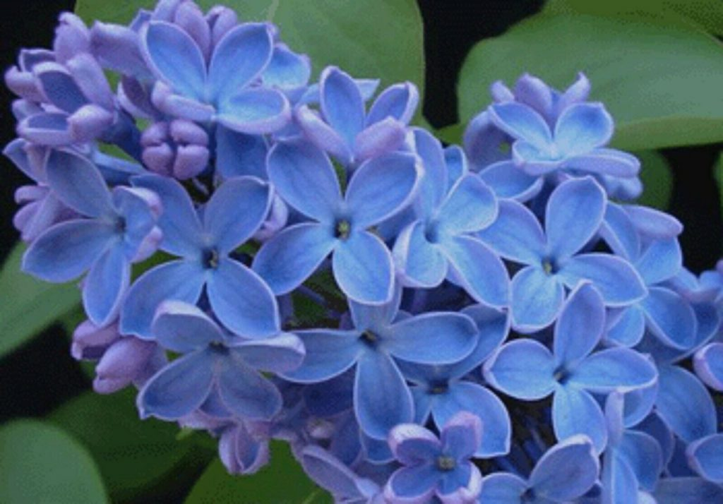 The Blooming Blog:  Lovely Lilacs